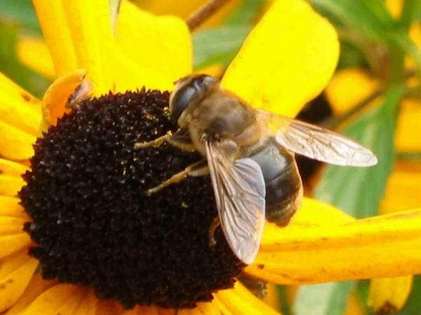 pchelka na cvetke 600x450 Пчёлка спит